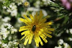Wild Flower (Hugo von Schreck) Tags: hugovonschreck flower wildflower blume wildblume macro makro canoneos5dsr tamron28300mmf3563divcpzda010