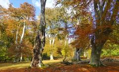 New Forest NP, Hampshire, England (east med wanderer) Tags: england uk hampshire newforestnationalpark lyndhurst markashwood trees forest woodland beech oak light worldtrekker