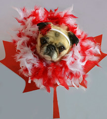Happy 150th Canada! (DaPuglet) Tags: pug pugs dog dogs pet pets animal animals canada canadaday 150 celebration costume party mapleleaf flag canuck coth coth5 sunrays5 alittlebeauty