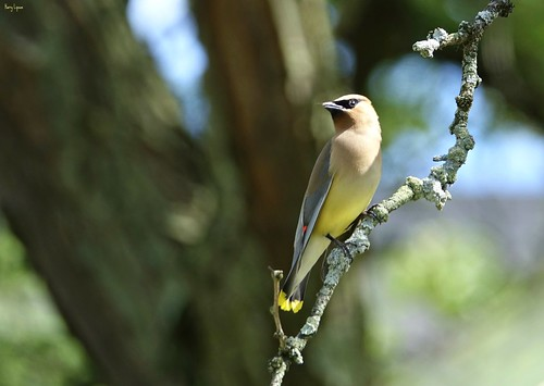 "Cedar WaxWing • <a style=""font-size:0.8em;"" href=""http://www.flickr.com/photos/52364684@N03/35469885542/"" target=""_blank"">View on Flickr</a>"