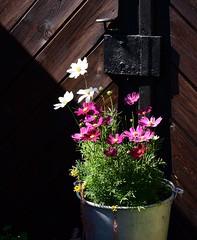 Spotlight (:Linda:) Tags: germany thuringia town hildburghausen garden flowerpot cosmea pinkflower whiteflower browndoor door padlock doorhandle