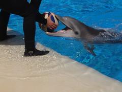 DSC00623 (jrucker94) Tags: vegas water dolphin swimming show secretgarden