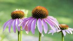 紫椎菊 (幻影留梦) Tags: echinacea coneflower asteraceae daisy flower pink purple stem green summer perennial sony fe 90mm f28 macro g oss lens sel90m28g