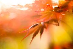The landing (hploeckl) Tags: diaplan maple leaves sunset