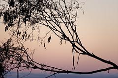 Just on Dusk in Australia (duobel) Tags: dusk branch gumtree