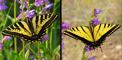 COMPARISON - Left: Western Tiger Swallowtail (Papilio rutulus).  Right: Two-tailed Swallowtail (Papilio multicaudata). (cbrozek21) Tags: westerntigerswallowtail papiliorutulus twotailedswallowtail papiliomulticaudata butterfly comparison sandiamountains newmexico twospeciescomparison animal nature insect
