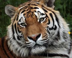 amurtiger taymir Ouwehands JN6A3711 (joankok) Tags: tiger tijger amoertijger amurtiger siberischetijger siberiantiger pantheratigrisaltaica ouwehands kat cat mammal zoogdier dier animal asia azie