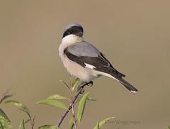_9078 Lesser Grey Shrike (Dave @ Catchlight Images) Tags: nature wildlife island islands aegean greece lemnos birds shrike lesser grey