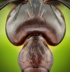 Ant (Can Tunçer) Tags: can cantunçer cantuncer canon canon6d closer macro makro macros macrophotography micro mikro makros microscop microscope mitutoyo mitu5x stack stacking studio setup tunçer turkey turkiye türkiye tuncer izmir ikea jansjö ant