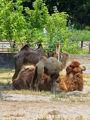 Bactrian Camel (Camelus bactrianus) - Dvogrba deva (atroha) Tags: bactriancamel camelusbactrianus croatia dvogrbadeva osijek osijekzoo slavonia