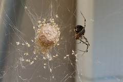 Mama Spider & Babies 07-04-17 (MelenaMe) Tags: babies baby spider spiders bug bugs insect insects crawlers crawling araneae carnivore arachnids spiderwebs web webs egg eggs nest spidernest