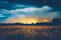 Into The Storm (der_peste) Tags: sunset sundown sun clouds rain rainyclouds cloudscape field wheat fieldofwheat ear dramatic sky skyscape mood atmosphere storm stormy landscape rural
