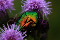 Colors of nature (na_photographs) Tags: rosenkäfer cetoniinae flowerchafer bug käfer schillernd colour colors colours bunt regentropfen
