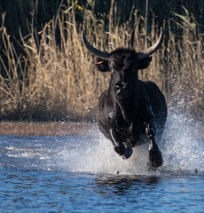 2016 Best Bulls in Camargue (6) (maskirovka77) Tags: vauvert languedocroussillonmidipyrén france languedocroussillonmidipyrénées fr