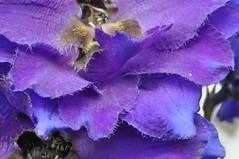 Macro #8,  2nd of July 2017 (viliris) Tags: larkspur blue purple macro macrodreams macroflowers mygarden flower summer olso petals stamen organicform