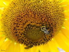 Pollinators (Karnevil) Tags: usa us unitedstatesofamerica unitedstates northamerica america northcarolina nc raleigh neuseriversunflowerfields lights petal corolla corollaofrayflower corollaofdiscflowerhelianthus sunflower angiosperms eudicots plantae asterales asteraceae bees bumblebee petekreps sony rx100 rx100v