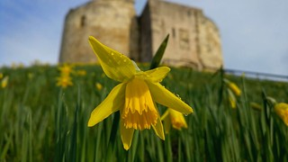Springtime in York - the famous daffodils surrounding Clifford's Tower