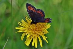 Butterfly (Hugo von Schreck) Tags: hugovonschreck erebialigea weisbindigermohrenfalter butterfly schmetterling falter macro makro insect insekt canoneos5dsr tamron28300mmf3563divcpzda010 onlythebestofnature