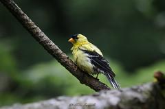 DSC_5928 (Lluís Barceló) Tags: canari goldfinch chardonneret yellow groc