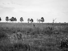 Hidden horse. (Pablin79) Tags: trees field sky landscape tree grass animal white monochrome black horse grassland argentina mammal cattle misiones cropland cavalry posadas noperson