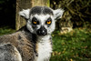 Lemur Stare (JoshSuttonPhotography) Tags: lemur blackpool zoo blackpoolzoo animal animals animalphotography animalphotograph ringtaillemur shocked surprised cheeky funnyface tongue photography sonya6000 sonymirrorless sony sonyalpha joshsuttonphotography uk zooanimal