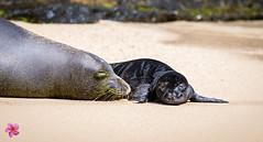 Rocky and Pup (William Parenio) Tags: babymonkseal hawaiianmonkseal kaimanabeach monkseal monksealpup monksealrh58 monksealrocky nature oahu