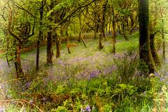 Enchanted (Missy Jussy) Tags: bluebells woodland springtime spring seasonal piethornevalley lancashire landscape rochdale northwest england canon canon5dmarkll canon50mm ef50mmf18ll 50mm