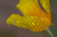 Do you want a hug? (lkiraly72) Tags: yellow flower white spider waterdroplets droplet macro plant insect