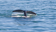 Southern Right (Dreamcatcher photos) Tags: whale walkerbay ocean southafrica dreamcatcherphotos