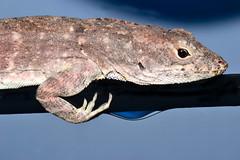 Lizard Lounging (donjuanmon) Tags: donjuanmon nikon nature lizard lounging macro macromondays hmm theme relaxation