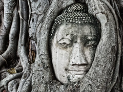 Surrounded (frank.rossol) Tags: buddha head thailand ayutthaya watmahathat root tree surrounded nikon d5100 nikkor 35mm 18 asia iconic