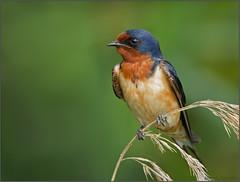 Barn Swallow (Randy Lowden) Tags: swallow barnswallow bird niagara ontario randylowden canon