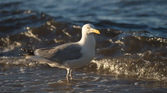 Herring Gull in the Evening Light (Stefan Zwi.) Tags: möve gull rügen bird ostsee ngc npc