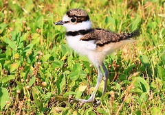 killdeer chick at Cardinal Marsh IA 854A8957 (lreis_naturalist) Tags: killdeer chick cardinal marsh winneshiek county iowa larry reis