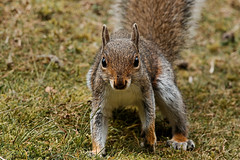 Squig - RSPB Sandy (Airwolfhound) Tags: squirrel squig rspb sandy