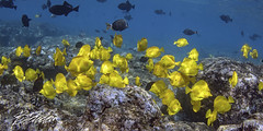A touch of Gold (bodiver) Tags: hawaii kailua wideangle ambientlight tokina1017mm tangs blue schools snorkeling fins freediving apnea