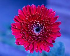 The Earth laughs in flowers!! (kr_swapna) Tags: beautifulflowers flowers flower amazingflowers gerbera pink blue blur background nature macro flowermacro blooming bloom flora