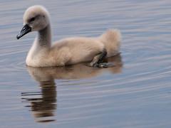 7-days-old (johnb/Derbys/UK) Tags: swan babe cygnets nature wildlife wet pov derbyshireuk