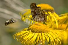 (wallnut65) Tags: pentax k3 tamron 70200mmf28 knollgardens wimborne pentaxart butterfly
