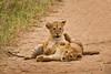 Lions of Maasai Kopjes 452 (Grete Howard) Tags: bestsafarioperator bestsafaricompany africa africansafari africanbush africananimals whichsafaricompany whichsafarioperator tanzania serengeti animals animalsofafrica animalphotos lions lioncubs maasaikopjes kopjes kopje