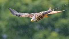 "Red Kite (coopsphotomad) Tags: ""red kite"" kite bird ""bird prey"" hawk animal nature wildlife scotland flight feathers brown green rain"