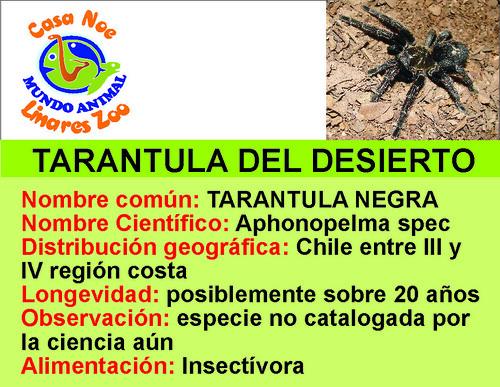 tarantula del desierto
