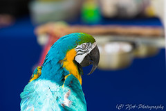 DSC_9539 (fjaphotography.co.uk) Tags: birds birdsofprrey daresbury steam england unitedkingdom gb