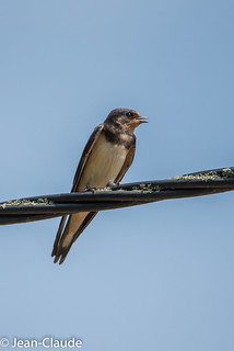 Hirundo rustica - Barn Swallow.