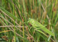 Grote groene sabelsprinkhaan / Tettigonia viridissima (m.ritmeester) Tags: ngc naturelovers natuur nederland veluwe eerbeek gelderland groen sabelsprinkhaan insect macro