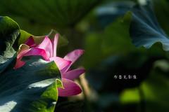 D66_9997 (brook1979) Tags: 台北市 植物園 荷 蓮 荷花 蓮花 葉 花 lotus flower