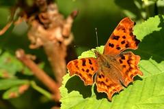 Comma (david.england18) Tags: butterflies comma smallbirds various tits blue coal great queensparkheywood localpark canon7d canonef300mmf4lisusm