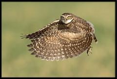 Burrowing Owlet (Lee_Marcus) Tags: owl owlet owlchick owlbaby owlfledgling burrowingowl burrowingowlet athenecunicularia birdofprey raptor