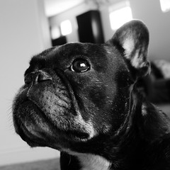 Dynamic B&W Setting (Lainey1) Tags: jpeg oz ozzy dog frenchie bulldog lainey1 elainedudzinski frogdog zendog frenchbulldog ozzythefrenchie bw monochrome leica leicadlux4