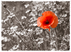 papaver (lieve.buyl) Tags: red rood papaver zw